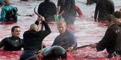 Boykotte und Demos wegen Färöer-Walmord